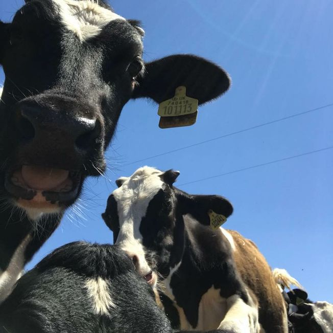 Single donation towards our cows